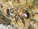 Apis mellifera - female