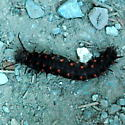 Large, spiky black & red caterpillar - Battus philenor