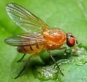 Diptera. Anthomyiidae. Pegomya sp.? - Pegomya geniculata - female