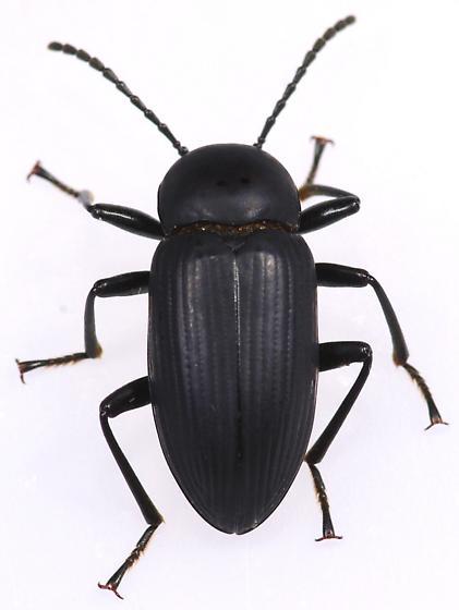 Beetle - Cymatothes unicolor