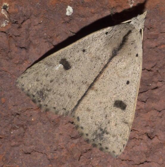 Tan moth with dark spots - Scolecocampa liburna