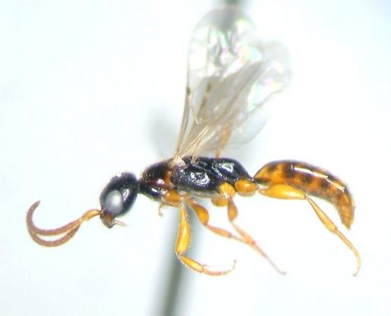 Bethylid - Pseudisobrachium
