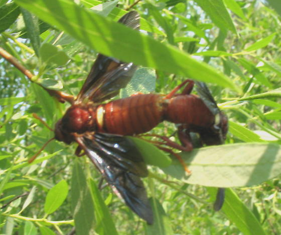 Cimbex rubida? - Cimbex rubidus - male - female