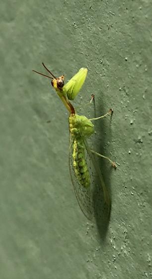 A very small mature mantis - Zeugomantispa minuta