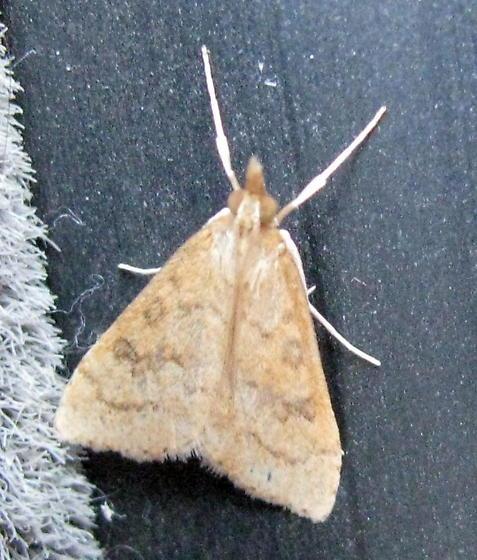 unknown moth - Udea rubigalis