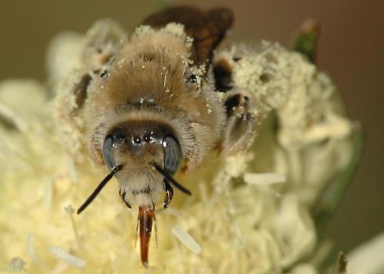 Pollen-laden bee - Diadasia