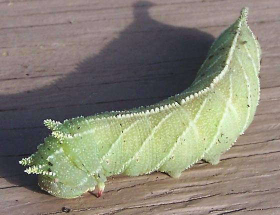 caterpillar southern saskatchewan   - Ceratomia amyntor