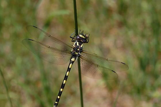Western Flying Adder - Cordulegaster dorsalis