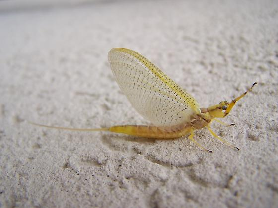 Not sure what kind of insect this is? - Hexagenia