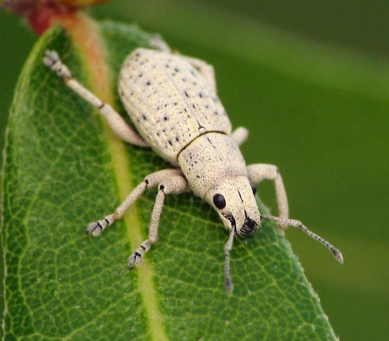 White weevil - Artipus floridanus