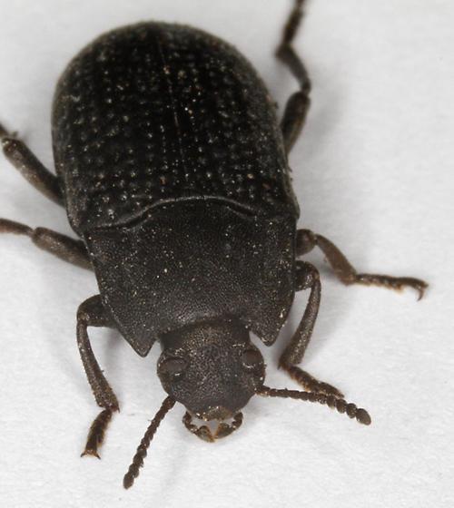 Tenebrionidae - Alaetrinus minimus
