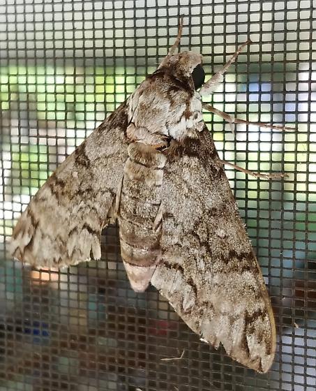 Manduca brontes ssp. cubensis - Manduca brontes