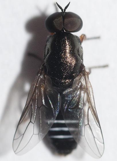 Window Fly - Scenopinus - male