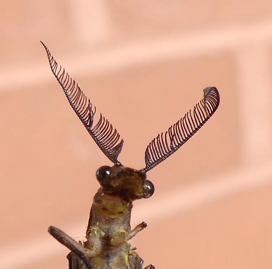 Chauliodes pectinicornis - male
