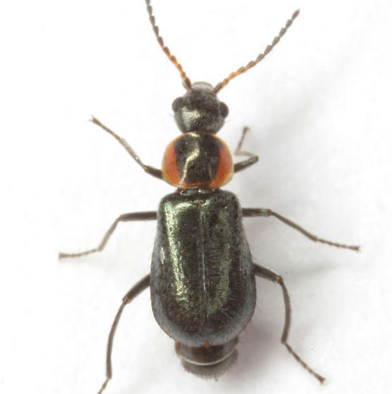 Attalus nigripes Horn - Attalus nigripes