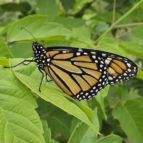 Nymphalidae: Danaus plexippus - Danaus plexippus