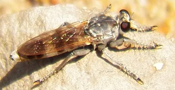 Robber fly 070314 - Stichopogon trifasciatus