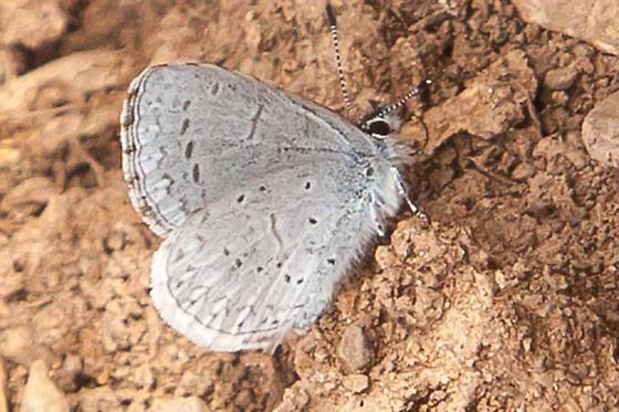 Blue - Celastrina echo - male