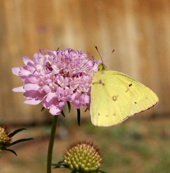 butterfly ID? - Colias eurytheme - male