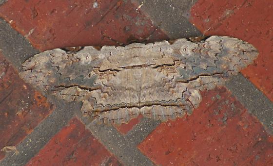 Bark Moth TX - Thysania zenobia