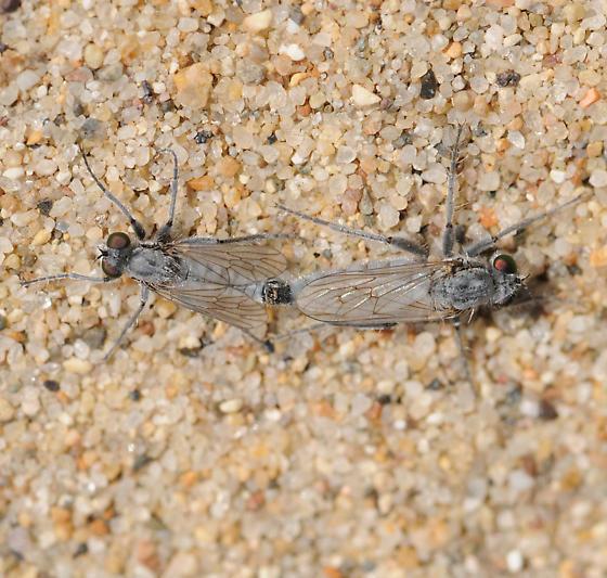 Lasiopogon littoris - male - female