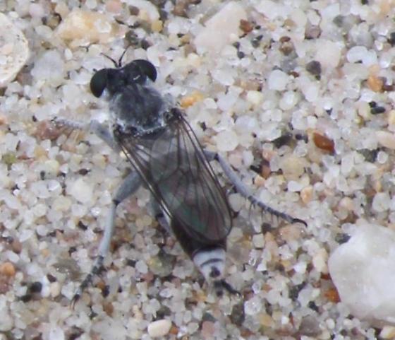 Flies at Mugu Marsh - Stichopogon trifasciatus