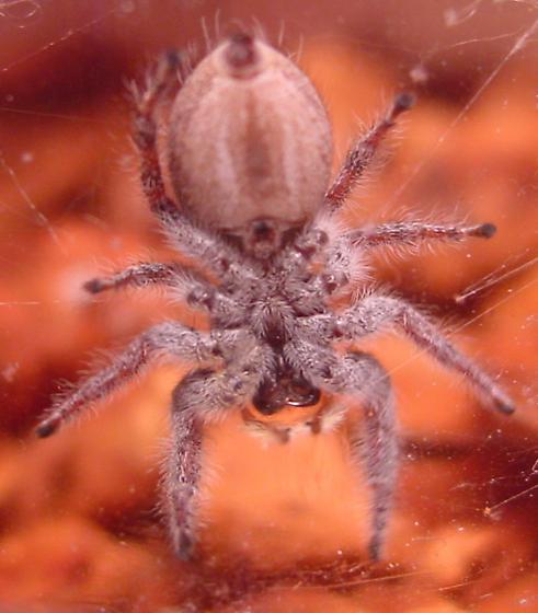 Beauty!! - Phidippus carolinensis - female