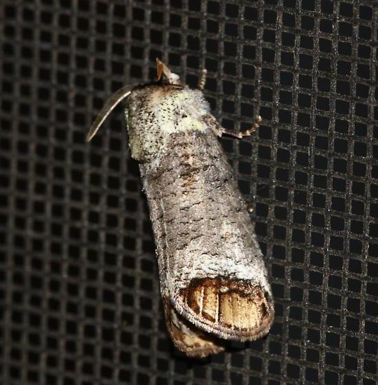 Unidentified Moth - Cossula magnifica