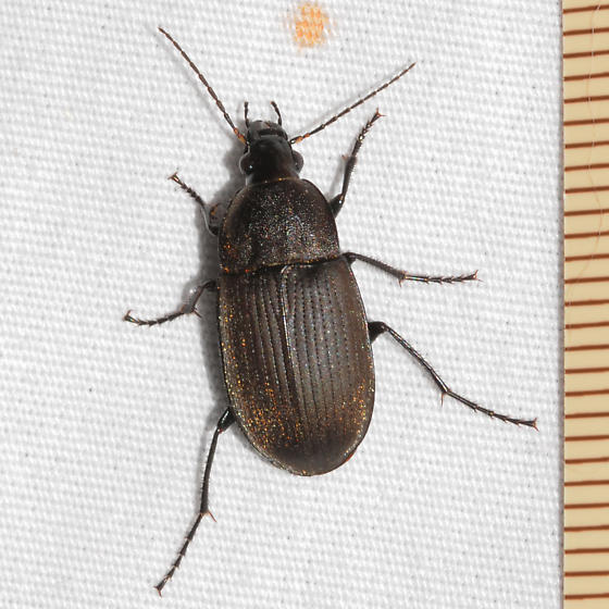 Beetle - Chlaenius tomentosus - female