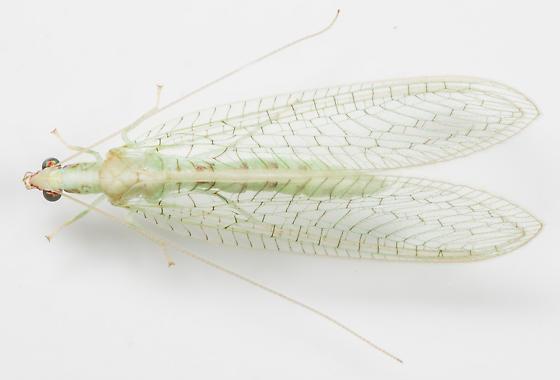 Lacewing - Chrysoperla rufilabris