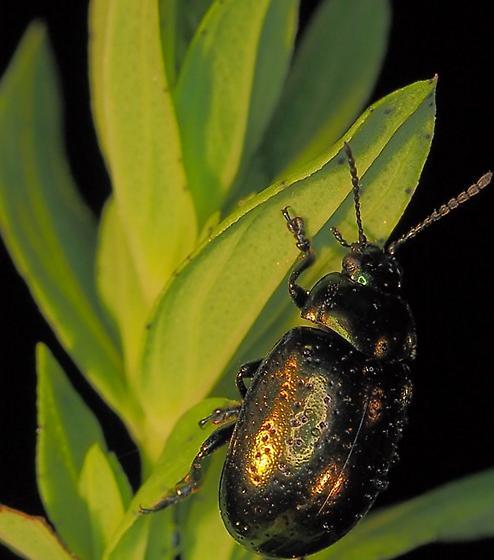 Metallic Green beetle - Chrysolina