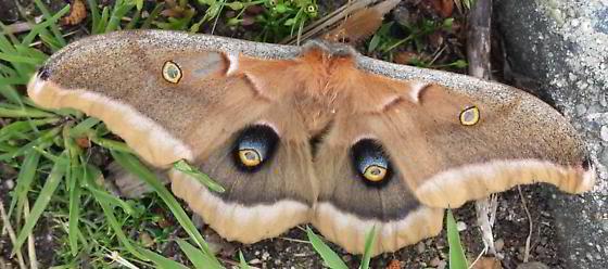 BigMoth in BC - Antheraea polyphemus