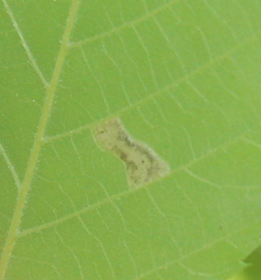 Lake Crabtree leaf miner maybe on Ostrya virginiana 2018 1