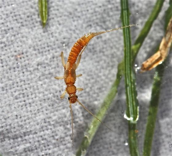 Paracapnia angulata