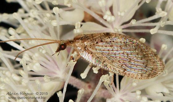 Hemerobiidae - Hemerobius stigma