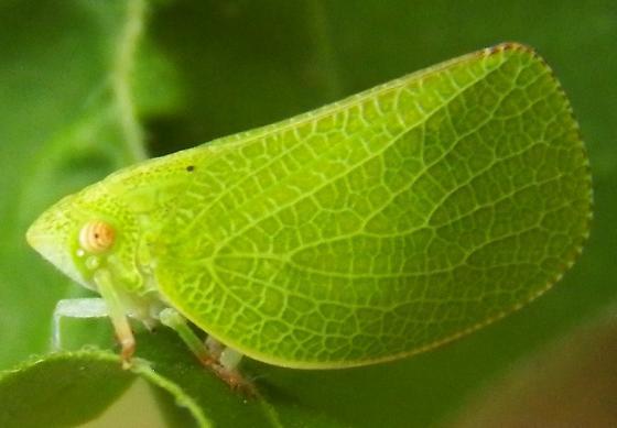 Green Leafhopper  - Acanalonia conica
