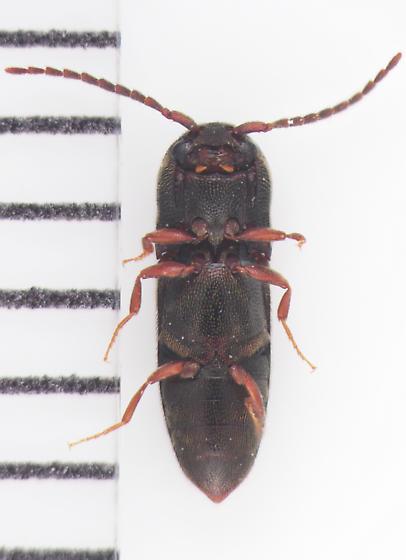 Eucnemidae, ventral - Rhagomicrus humeralis
