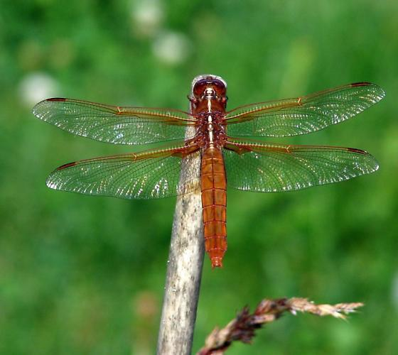 red skimmer? - Libellula saturata - female