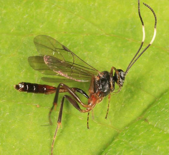 Ichneumon - Oxytorus - female
