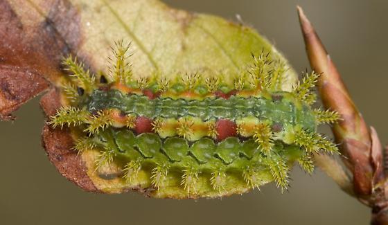 Spiny Oak Slug - Euclea