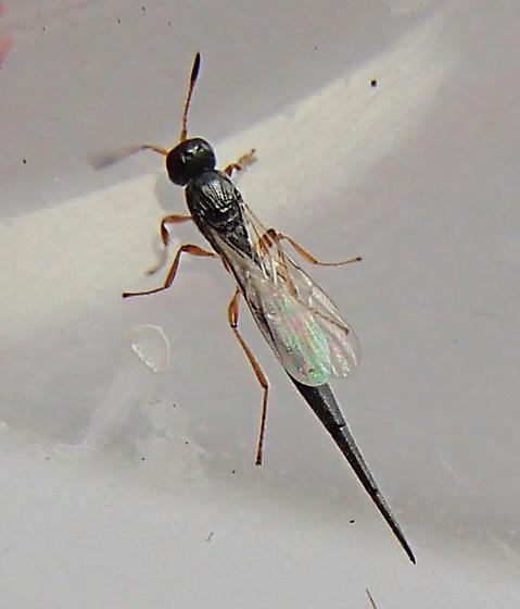 Wasp? - Macroteleia carinata