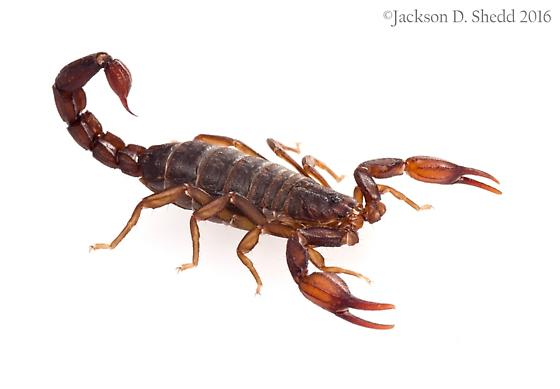 A new scorpion genus from Northern California