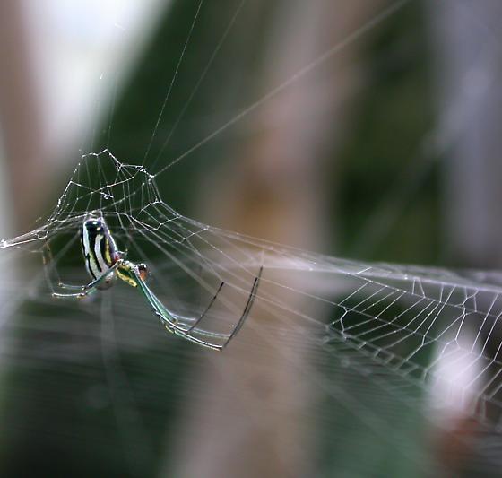 Hub Detail - Leucauge argyra - female