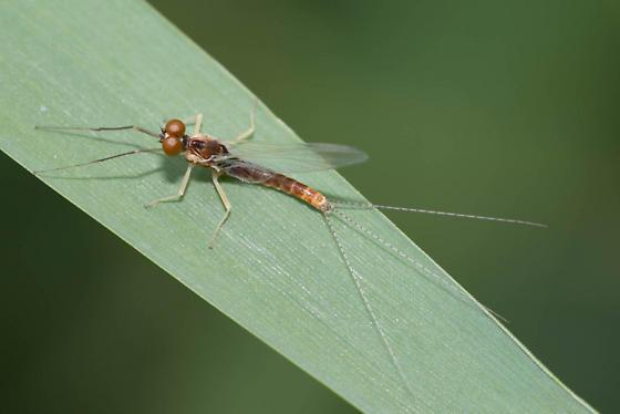 Mayfly 2 - Ephemerella dorothea