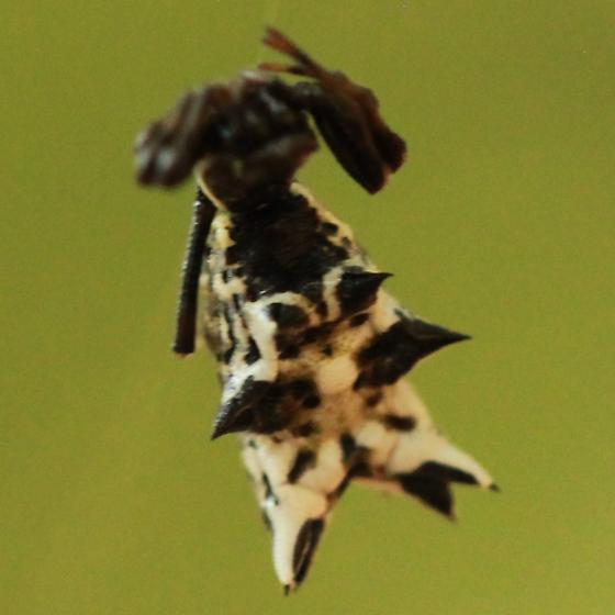 Multi-spined Spider - Dorsal - Micrathena gracilis - female