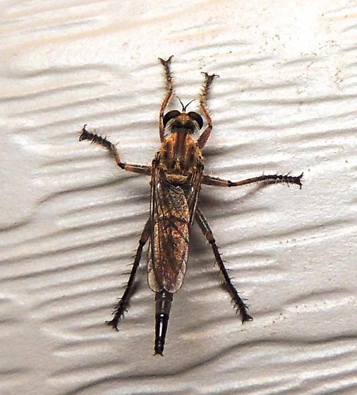 Robber Fly of some kind? - Proctacanthella