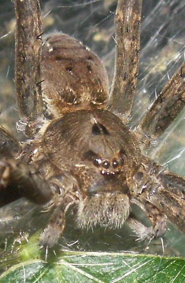 Fishing Spider - Dolomedes vittatus - female