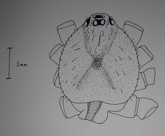 Female - Steatoda grossa - female