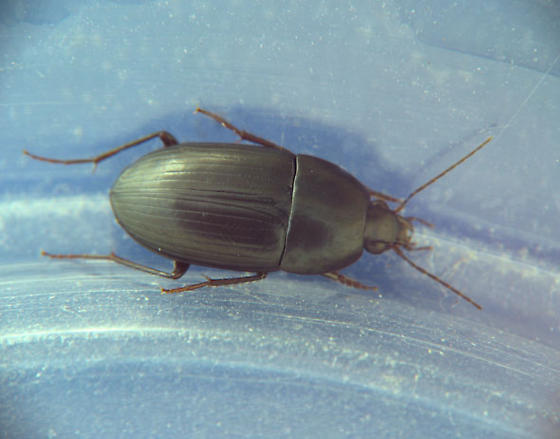 oval ground beetle - Oodes fluvialis