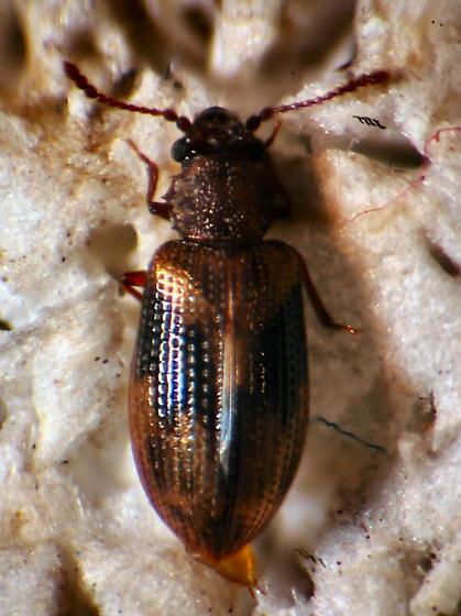 Derodontidae ? - Derodontus trisignatus